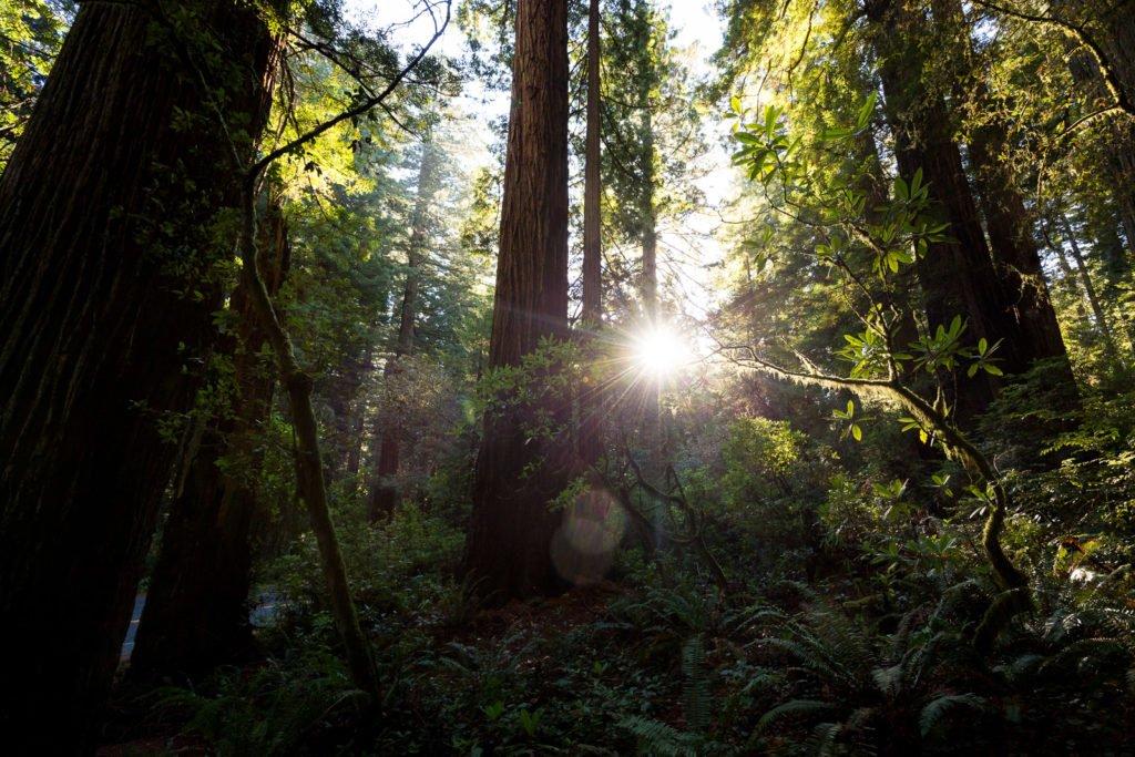 Redwoods Kalifornien