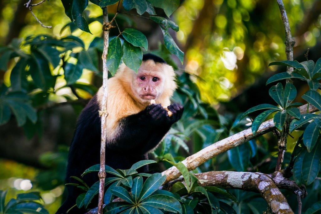 Affe im Dschungel fotografiert