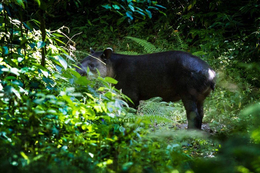 Tapir im Dschungel