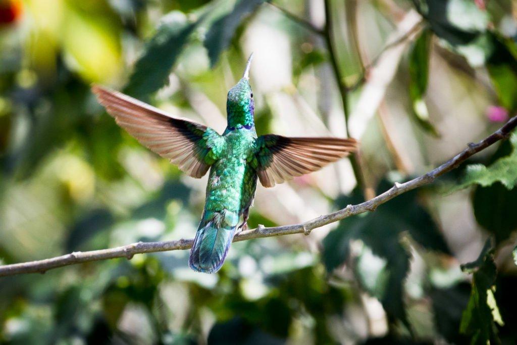 Kolibri im Dschungel fotografiert