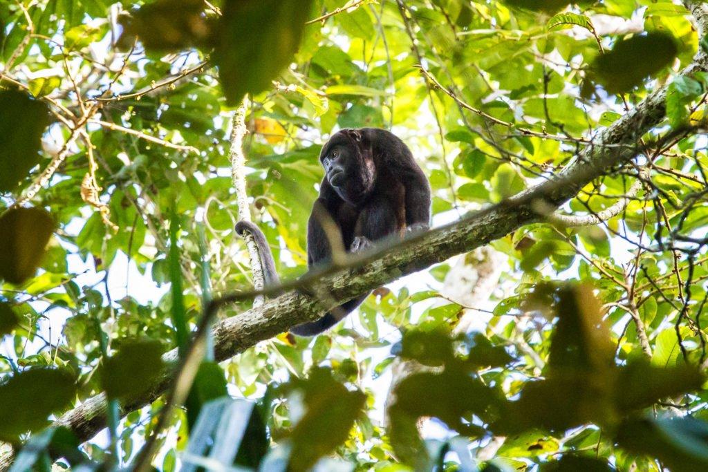 Affen Panama