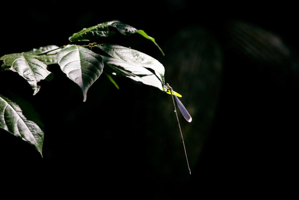 Libelle im Dschungel fotografiert
