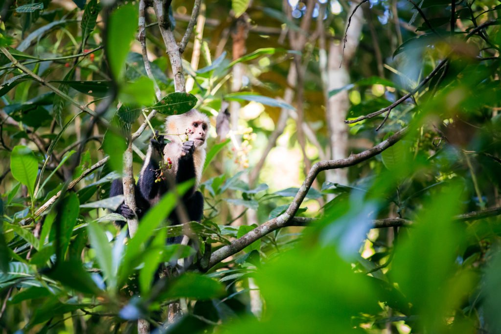 Affe im Soberania Nationalpark auf der Pipeline Road
